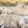 Белый лев с голубыми глазами