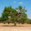 Летающие козы Марракеша