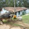 Кто живёт в теле буйвола?