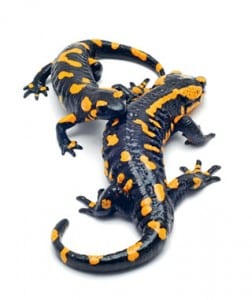 Саламандры