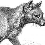 Тилацин - волк или кошка?