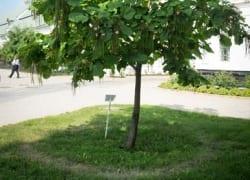 Дерево с нимбом