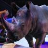 На раскладушке рядом с носорогом