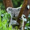 Бал диковинных коал