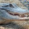 Аллигаторы слушают Баха