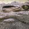 Гигантский крокодил оказался серийным убийцей