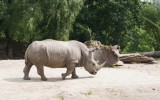 У редкого носорога есть шанс возродиться