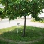 <b>Вокруг дерева в Киево-Печерской лавре появился нимб</b>