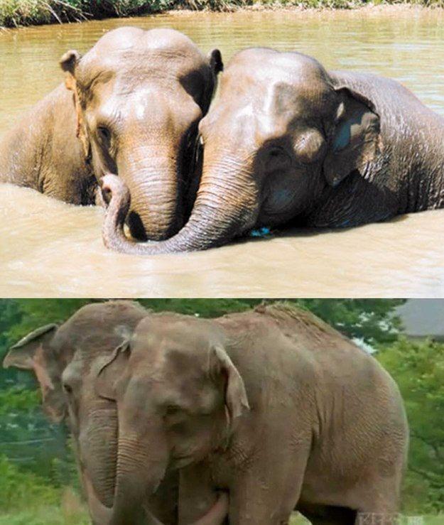 Слоны Дженни и Ширки