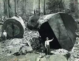 вырубка леса округ Гумбольдт  США (1)